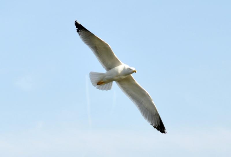 Large-bird-flying634