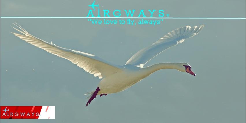 swan-flying