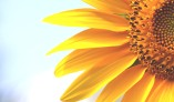 153JJ4e320141024154825sunflower-new-hd-wallpapers-free-download-flowers-images