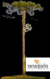 araucarias-big.png